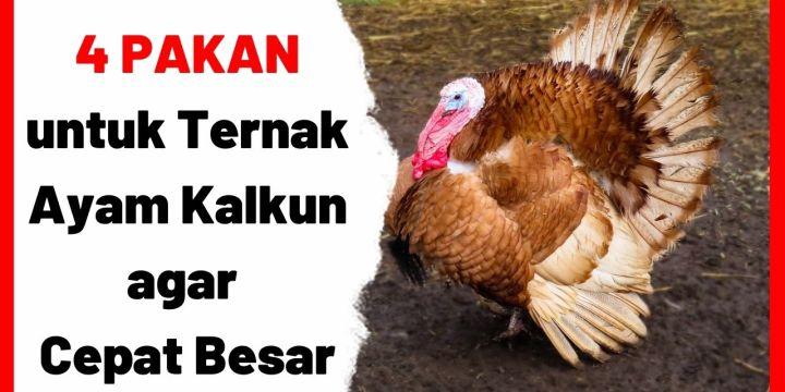 4 Pakan untuk Ternak Ayam Kalkun agar Cepat Besar