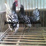 Ayam Batik Itali Dewasa1