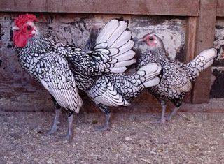 Ayam Batik Itali Dewasa4