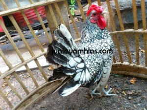 karakteristik ayam batik