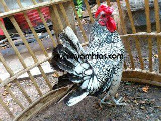 aneka ayam hias