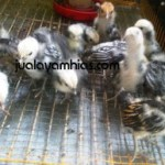 Ayam Batik Itali Usia 1 Bulan2