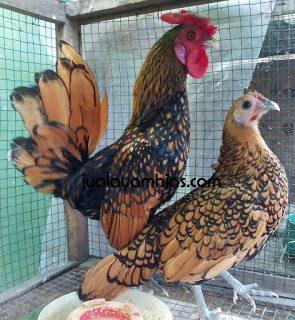 Ayam Batik Kanada Cokelat Gold Dewasa1