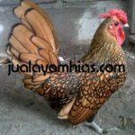 Ayam Batik Kanada Cokelat Gold Dewasa3