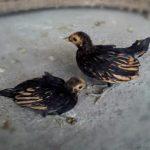 Ayam Batik Kanada Cokelat Gold Usia 2 Bulan