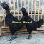 Cemani Chicken Age 3 Month