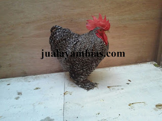 Ayam Chocin Dewasa
