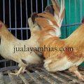 Ayam Kate Dewasa Sepasang2