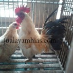 Ayam Kate Dewasa Sepasang3