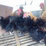 Ayam Kate Walik Usia 2 Bulan1