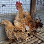 jual ayam kate walik