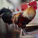 Saran Perawatan Ayam Ketawa Umur Satu Bulan untuk Pak Beni di Bekasi