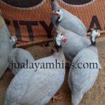 Makanan ayam mutiara