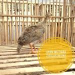 Ayam Mutiara Usia 2 Bulan2
