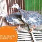 Ayam Mutiara Usia 3 Bulan2