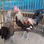 Ayam Onagadori Usia 4 Bulan1