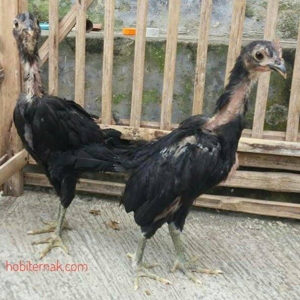 Ayam Pelung Usia 2 Bulan2