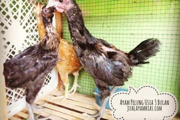 Ayam Pelung Usia 3 Bulan