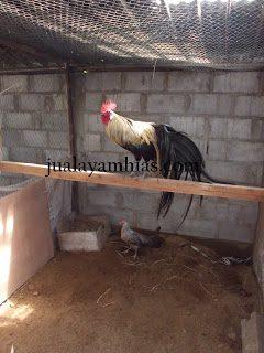 Ini dia salah satu contoh kandang ayam phoenik yang di lengkapi dengan tempat bertengger