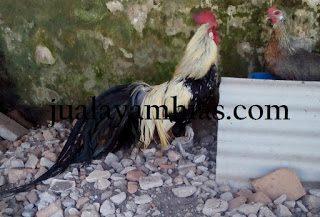 Mengenal Jenis Ayam Phoenix Berbulu Panjang dan Lurus