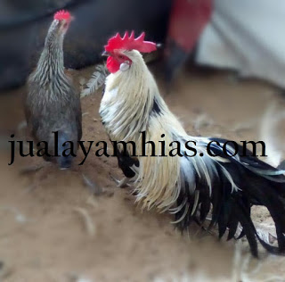 perbedaan ayam phoenix dan ayam onagadori