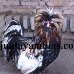 Ayam Poland Dewasa Jantan4