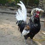 Ayam Poland Dewasa3.