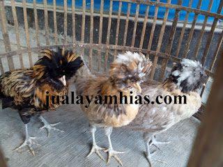 Ayam Poland Usia 3 Bulan1