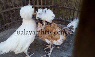 Ayam Poland Tandukyang Membuat Tertarik Pembeli