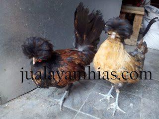 ayam poland tanduk