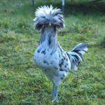 Ayam Poland2