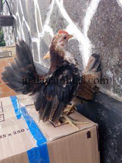 Pengiriman Ayam Serama Umur 2 Bulan ke daerah Kelurahan Cipaisan di Kabupaten Purwakarta