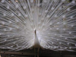 jual burung merak putih