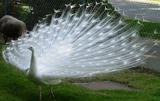 Jual Burung Merak Putih yang Memiliki Bulu Indah dan Menawan