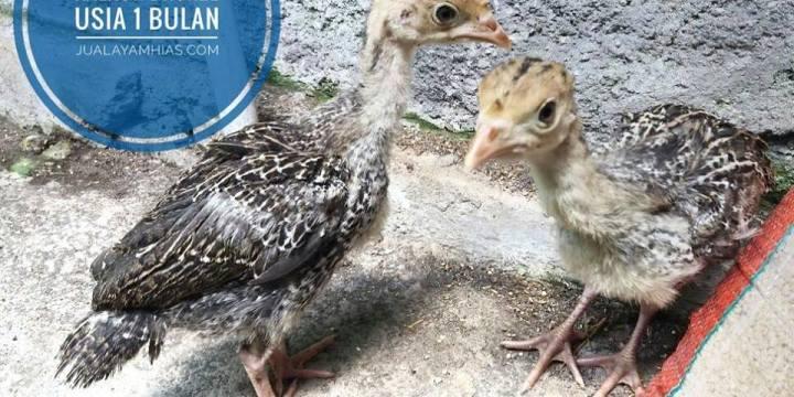 Pemeliharaan Anak Ayam Kalkun Hingga Dewasa dan Mengenal Jenis-jenisnya