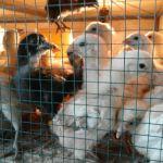 Cara Ternak Ayam Kampung SuperMenggunakan Prinsip-Prinsip  Sederhana