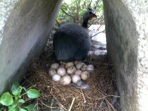 kandang ayam mutiara