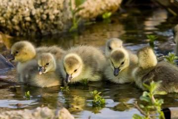 Pemilihan bibit bebek yang baik