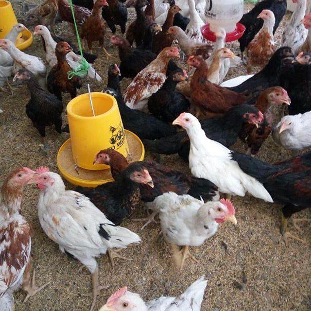 JOPER adalah salah satu jenis ayam pedaging yang saat ini banyak di minati