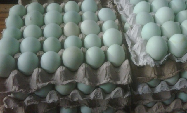 Cara Tepat Menghasilkan Bebek Lokal Jantan Siap Potong yang Seragam