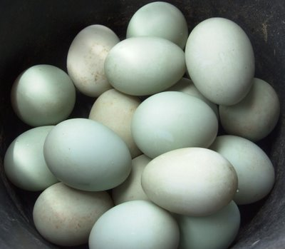 Penggunaan Ramuan Herbal Untuk Meningkatkan Produktivitas Pada Bebek