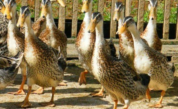 Dapatkan Info Harga Jual Beli Bibit Bebek Peking Palembang Murah
