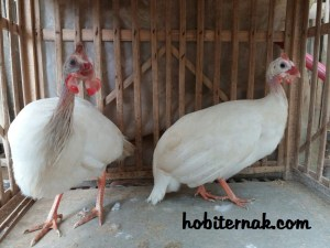 daging ayam mutiara