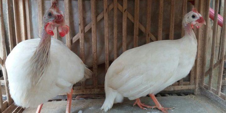Mengenal Jenis dan Harga Ayam Mutiara Unggulan