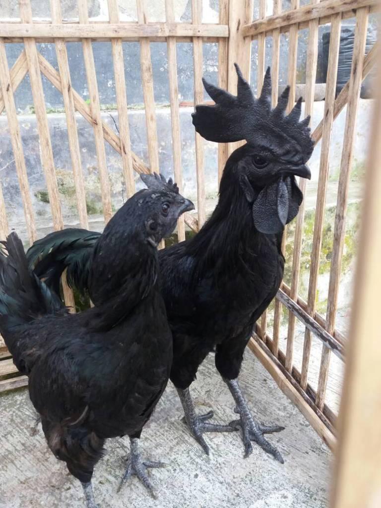 Adult Cemani Chicken