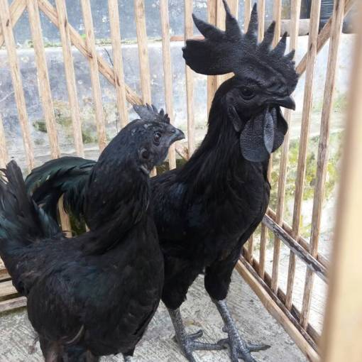 Adult Cemani Chicken