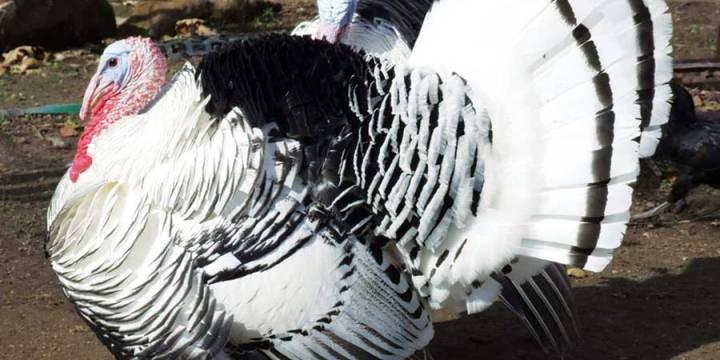√ Daftar Harga Ayam Kalkun Terbaru Dari Anakan Hingga Indukan