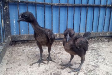 Cemani Chicken Age 1 Month