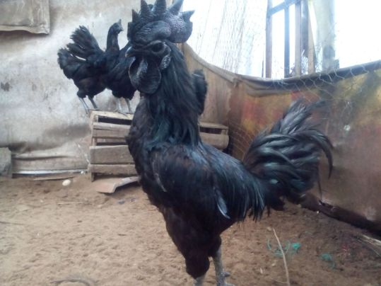 cara membuat kandang ayam cemani
