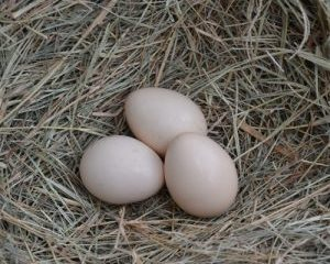Cemani Chicken Eggs